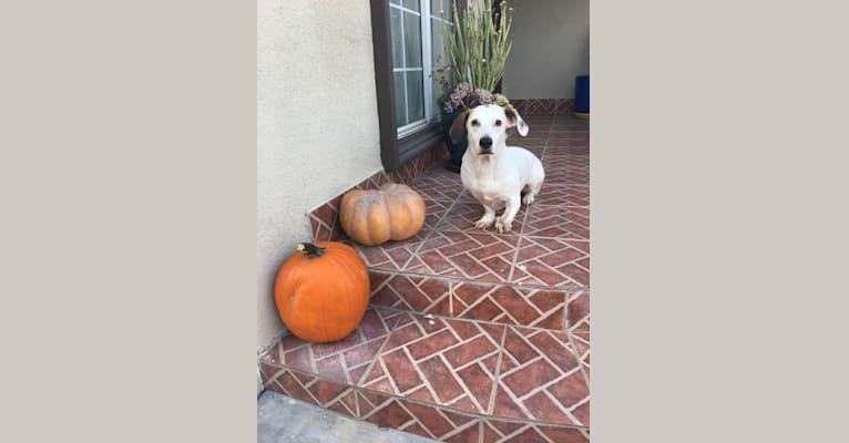 Photo of Barney, a Basset Hound and Mixed mix in Los Angeles, California, USA