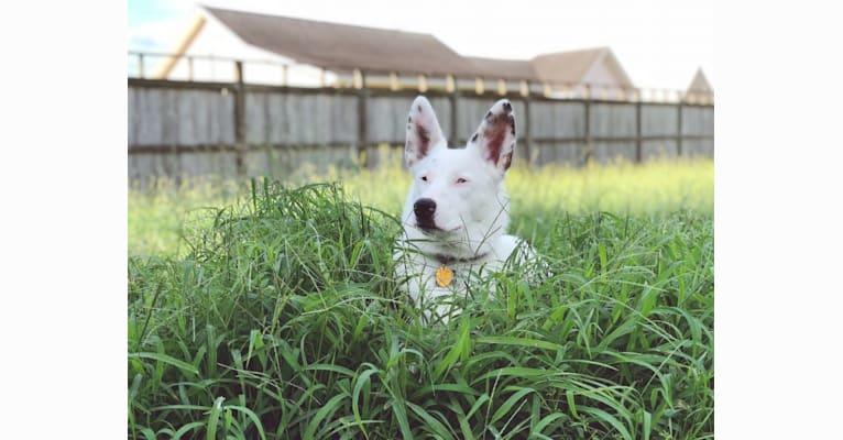Photo of Finn, an Australian Cattle Dog and Australian Shepherd mix in Galliano, Louisiana, USA