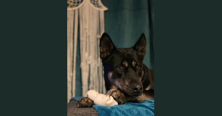 Photo of Rome, a Siberian Husky, Labrador Retriever, and Rottweiler mix in Cadillac, Michigan, USA