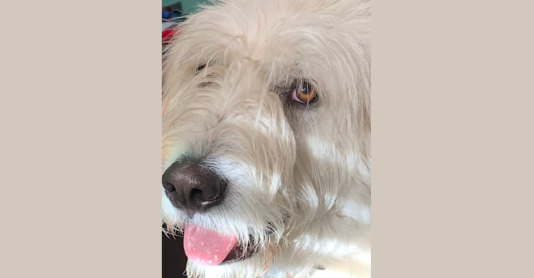 Photo of Phinehas, a Great Pyrenees and Komondor mix in Tennessee, USA