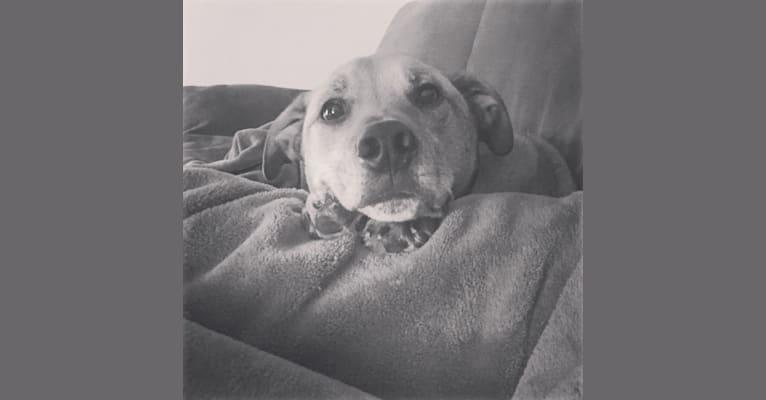Photo of Manchego, an Australian Cattle Dog, Boxer, Golden Retriever, and Mixed mix in Minneapolis, Minnesota, USA