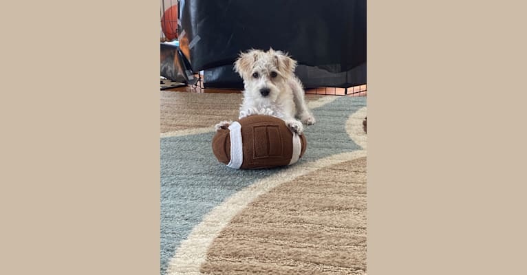 Photo of Kai, a Miniature Schnauzer, Poodle (Small), Chihuahua, and Miniature Pinscher mix in San Diego, California, USA