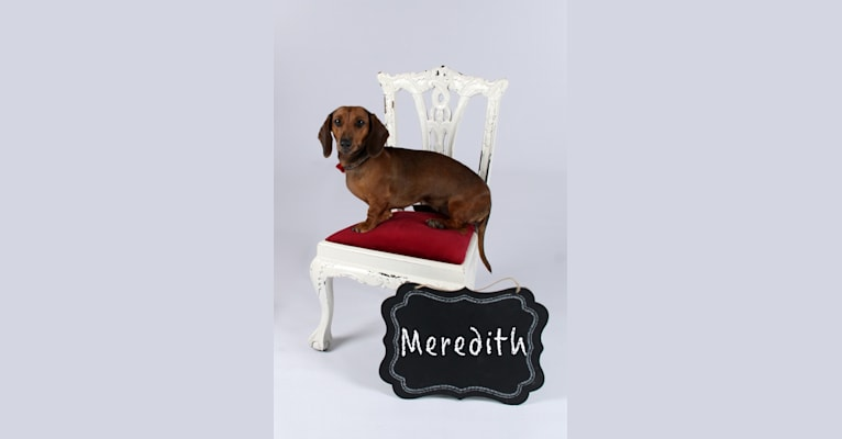 Photo of Meredith, a Dachshund  in Grovespring, MO, USA