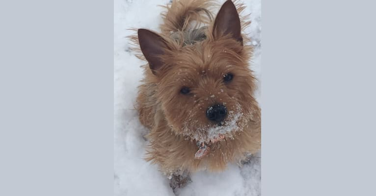 Photo of Charlie, a Yorkshire Terrier and Bichon Frise mix