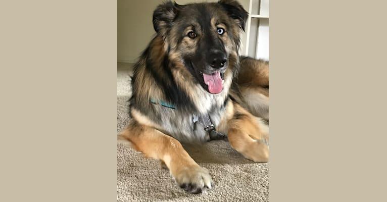 Photo of Ollie, a German Shepherd Dog, Siberian Husky, and Border Collie mix