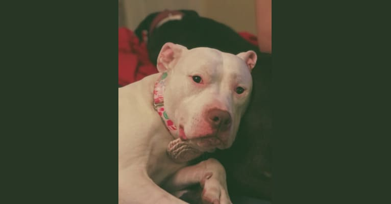 Photo of Nina, an American Bulldog and American Pit Bull Terrier mix in Rochester, New York, USA