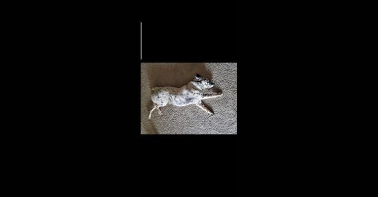 Photo of Pom, an Australian Cattle Dog  in Spokane, Washington, USA