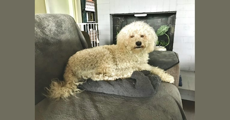 Photo of Charlie, a Poodle (Small), Maltese, Cocker Spaniel, and Mixed mix in California, USA