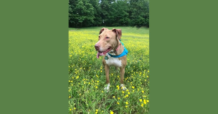 Photo of Kanna, an American Pit Bull Terrier and American Bulldog mix in Memphis, Tennessee, USA