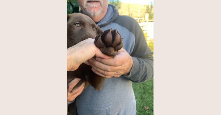 Photo of Sam, a Chesapeake Bay Retriever and German Shepherd Dog mix in Fortuna, California, USA