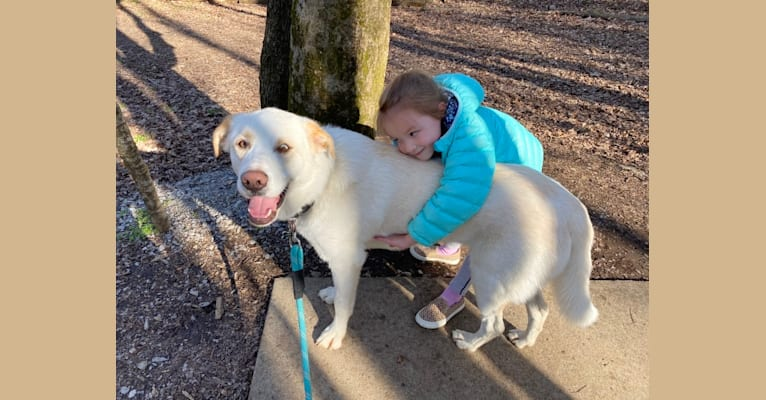 Photo of Sparky, a Great Pyrenees, Australian Shepherd, and Siberian Husky mix in Franklin, Tennessee, USA
