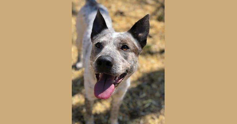 Photo of Odin, a German Shepherd Dog, Australian Cattle Dog, Beagle, Collie, and Siberian Husky mix in Pennsylvania, USA