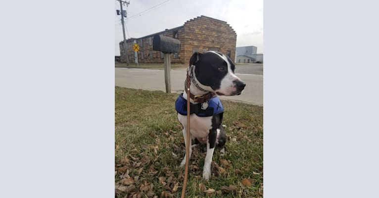 Photo of GANT'S OG RUDEBOY aka ROCKY, an American Pit Bull Terrier and American Staffordshire Terrier mix in Illinois, USA