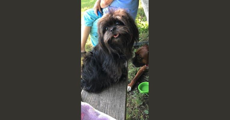 Photo of Binky, a Shih Tzu, Maltese, Pomeranian, and Mixed mix in Kansas, USA