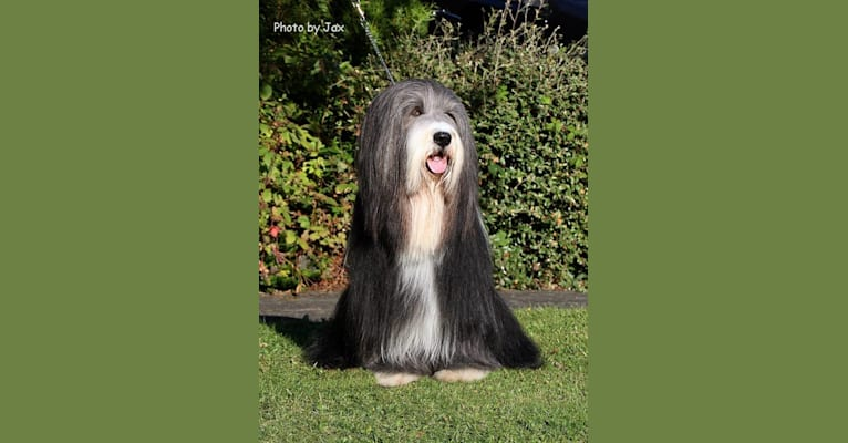 Photo of Glenspey Bullet Proof Soul at Corimist (Frankie), a Bearded Collie  in Newcastle upon Tyne, England, United Kingdom