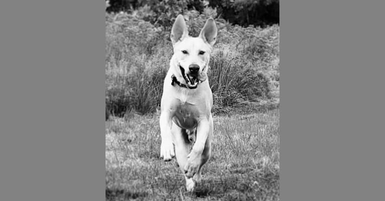 Photo of Colby, an American Pit Bull Terrier, Australian Cattle Dog, Siberian Husky, Chow Chow, and Mixed mix in Houston, Texas, USA