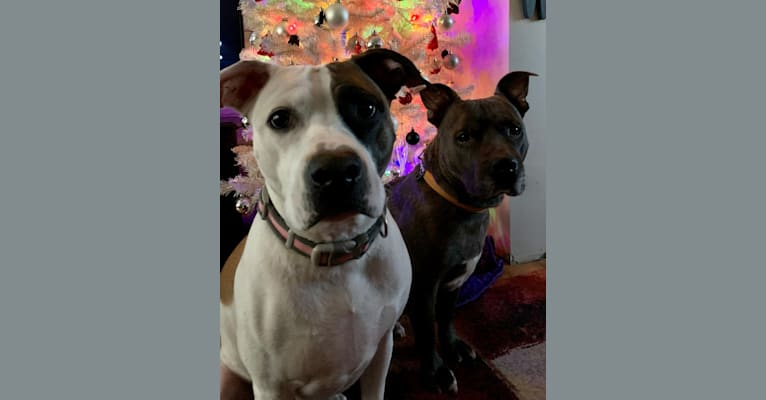 Photo of Belle, an American Pit Bull Terrier, American Bulldog, and Boxer mix in Tennessee, USA