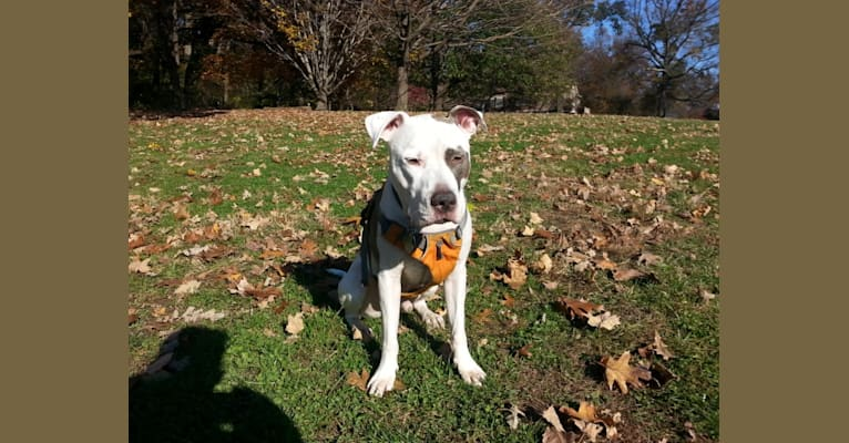 Photo of Petey, an American Staffordshire Terrier and American Pit Bull Terrier mix in New York, USA