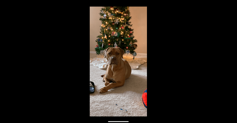 Photo of Marco, a Boerboel, American Pit Bull Terrier, and Mixed mix in Springfield, Illinois, USA