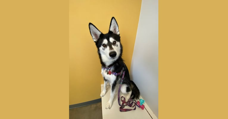 Photo of Nollie, a Siberian Husky, Samoyed, German Shepherd Dog, and Mixed mix in San Diego, California, USA