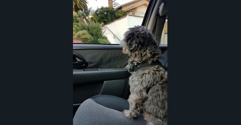 Photo of Nuxx, a Pomeranian, Chihuahua, Poodle (Small), Shih Tzu, and Mixed mix in Glendale, California, USA