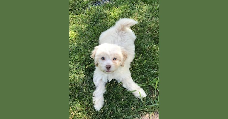 Photo of Daisy, a Poodle (Small), Shih Tzu, Beagle, and Mixed mix in La Grange, Kentucky, USA