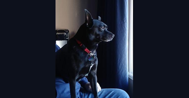 Photo of Peanut Shanahan, a Chihuahua, Pomeranian, Cocker Spaniel, Dachshund, and Mixed mix in Cloverdale, California, USA