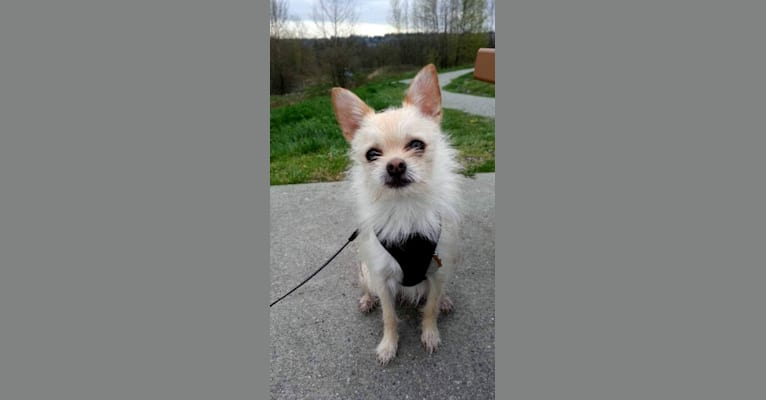Photo of Dobby, a Maltese, Pomeranian, Chihuahua, and Mixed mix in Port Coquitlam, British Columbia, Canada