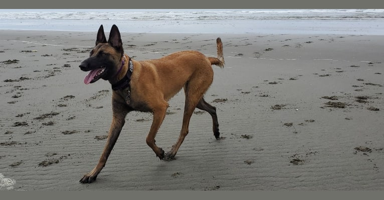 Photo of Wookie, a Belgian Malinois and German Shepherd Dog mix in Kent, WA, USA
