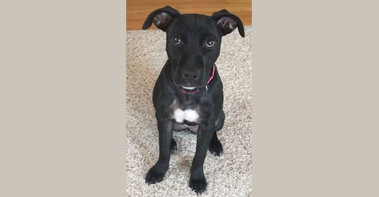 Photo of Missy, a Border Collie, American Staffordshire Terrier, American Pit Bull Terrier, and Boxer mix in Houston, TX, USA