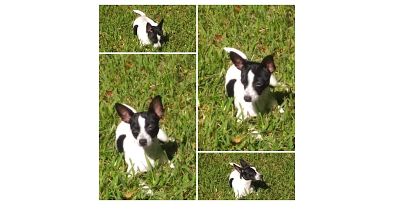 Photo of Thor, a Chihuahua and Rat Terrier mix in Lakeland, FL, USA