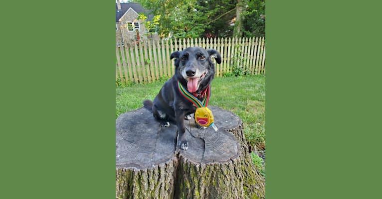 Photo of Otis, a Chihuahua, Rat Terrier, Beagle, Labrador Retriever, Siberian Husky, German Shepherd Dog, and Mixed mix in Cheverly, Maryland, USA