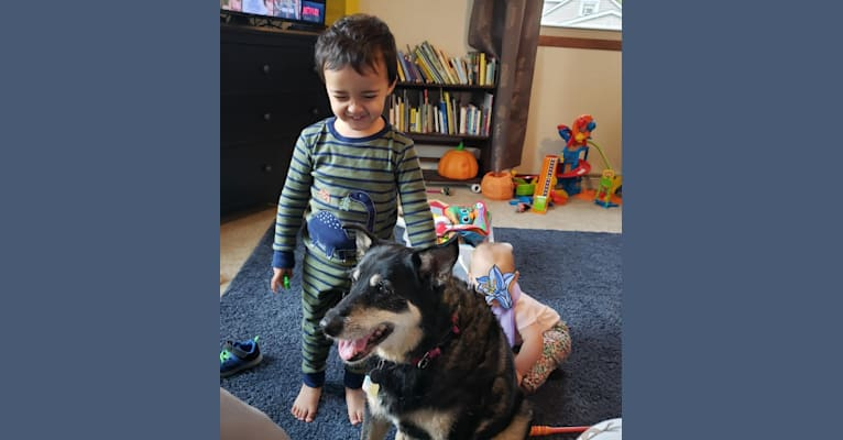 Photo of Paige, a Border Collie, American Eskimo Dog, Poodle (Small), Australian Cattle Dog, and Mixed mix in Mishawaka, Indiana, USA
