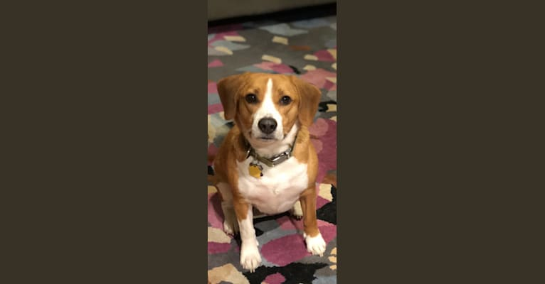 Photo of Peyton, a Beagle and Rat Terrier mix in Franklin County Dog Shelter & Adoption Center, Tamarack Boulevard, Columbus, OH, USA