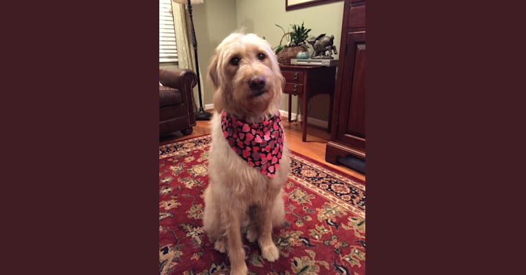 Photo of Oliver, a Labradoodle  in Kingsport, Tennessee, USA