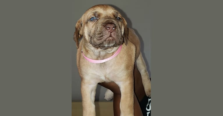 Photo of ADA, a Boerboel  in Fayetteville, NC, USA