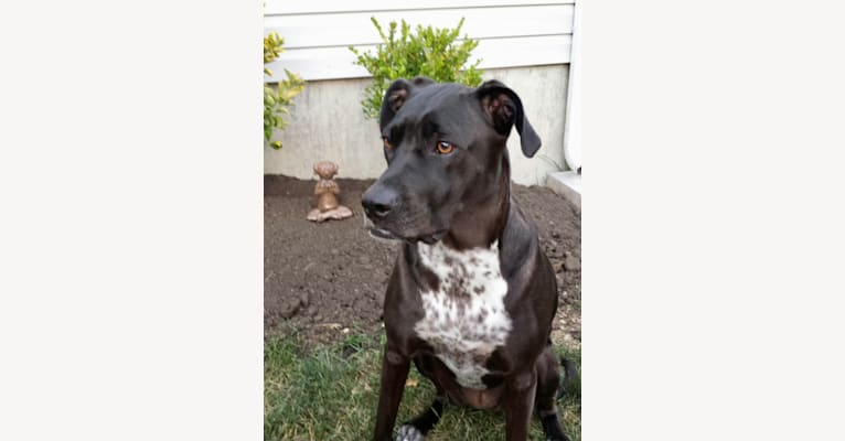 Photo of Bailey, an American Pit Bull Terrier, Labrador Retriever, and Llewellin Setter mix in Huntsville, Alabama, USA