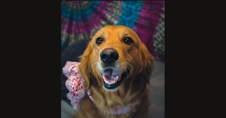 Photo of Princess Scarlett, a Golden Retriever  in Tennessee, USA