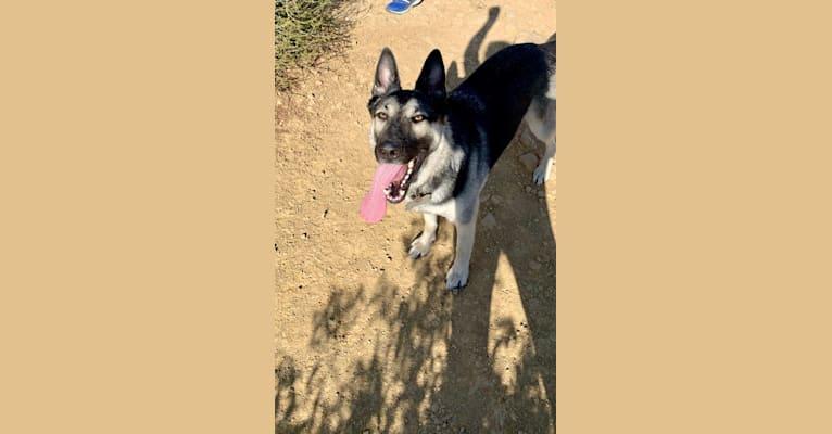 Photo of Pierre, a German Shepherd Dog and Siberian Husky mix in Santa Barbara, California, USA