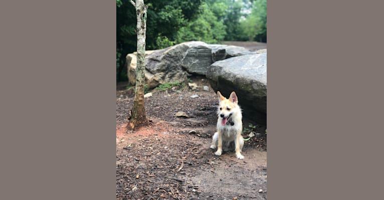 Photo of Bruno, a Pomeranian, Miniature Schnauzer, and Shih Tzu mix in 스톡브리지, 조지아, USA