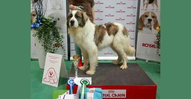 Photo of Leevi, a Pyrenean Mastiff  in Texas, USA