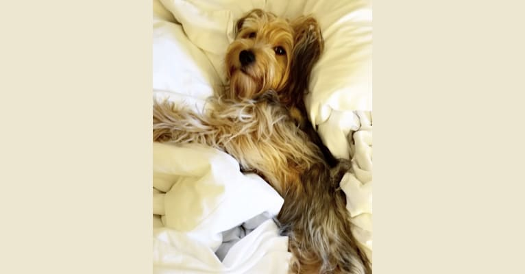 Photo of Nacho, a Yorkshire Terrier and Poodle (Small) mix in Harlingen, Texas, USA