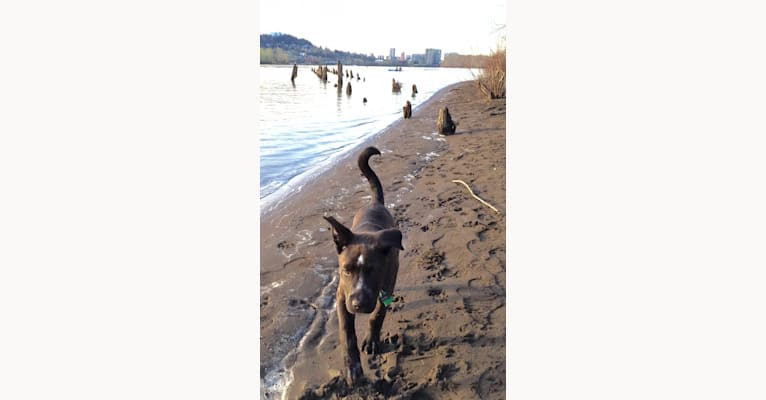 Photo of Koa, an American Pit Bull Terrier, Siberian Husky, American Staffordshire Terrier, and Mixed mix in Portland, Oregon, USA