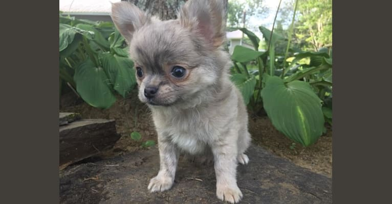 Photo of A & A's Sirius-ly Mastering The Force, a Chihuahua