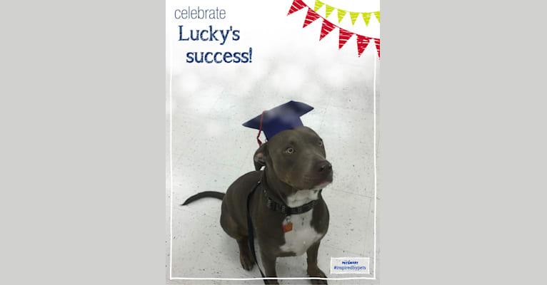 Photo of Lucky Monan Krebs, an American Pit Bull Terrier  in Gulf Breeze, Florida, USA