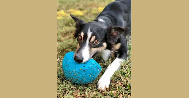 Photo of Astro, a Border Collie, American Pit Bull Terrier, and Australian Cattle Dog mix in Mission Viejo, California, USA