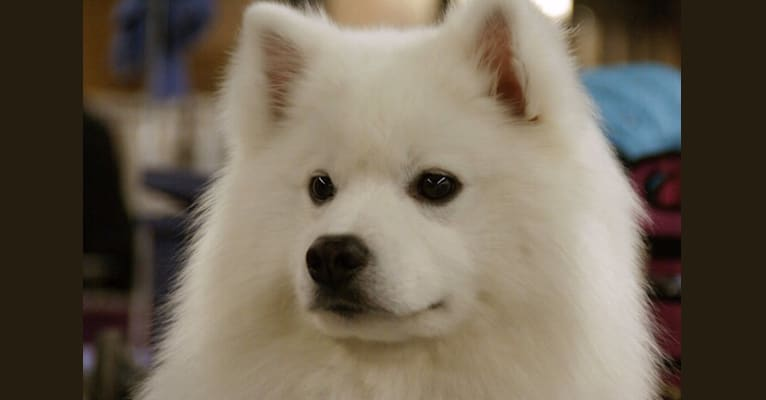 Photo of Seven, an American Eskimo Dog  in Seattle, Washington, USA