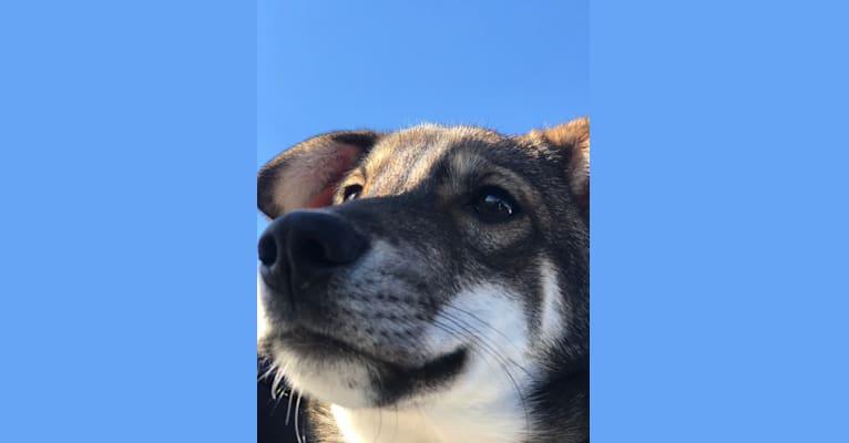 Photo of Tofu kun, a Shiba Inu, Shikoku, American Eskimo Dog, Japanese Chin, and Mixed mix in 目黒区, 東京都, 日本