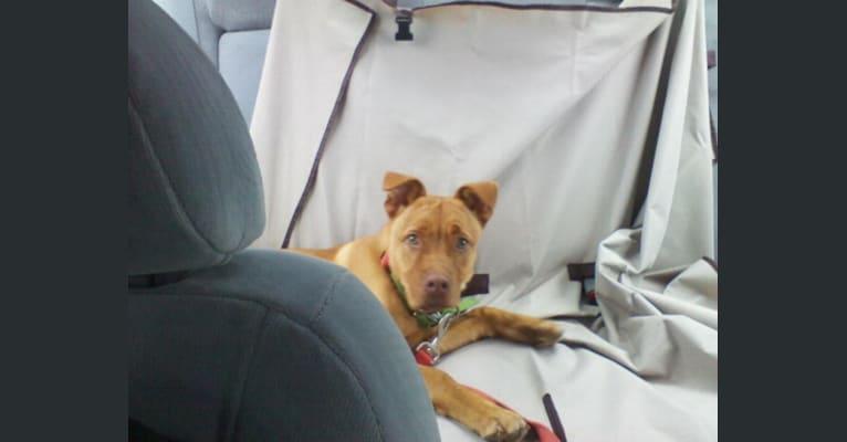 Photo of Strike, an American Pit Bull Terrier, Chow Chow, German Shepherd Dog, and Miniature/MAS-type Australian Shepherd mix in Georgia, USA