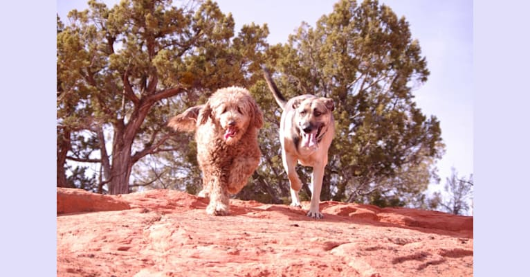 Photo of Maggie Sue, a Poodle (Standard) and Poodle (Small) mix in Castle Rock, Washington, USA